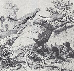 Z zapartym tchem oglądano w dalekiej Europie sceny myśliwskie z Australii. Zapobiegliwy rysownik stłoczył pospołu lirnika, emu, dziobaka, i kangura czyli zwierzęta, które najbardziej frapowały wyobraźnię europejskich przybyszów