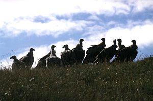 Sępy obsiadły wzgórze w oczekiwaniu na swój udział w podniebnym pochówku
