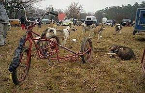 Husky przy swoim wózku