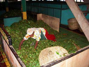 Selekcja liści herbacianych