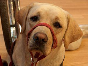 Przesympatyczna Gucia - pies serwisowy
