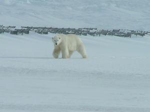 Niedźwiedź polarny - gospodarz wyspy
