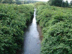 Rdestowce nad potokiem Wapienica